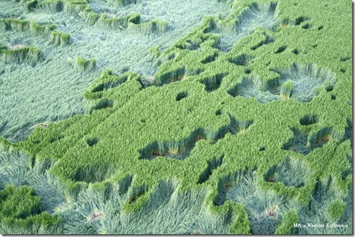 Círculos en Milk Hill (Wiltshire, Inglaterra 2001) Crop2_thumb